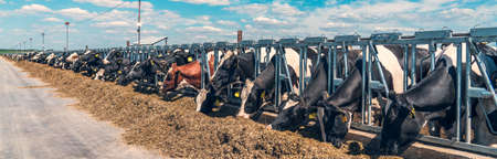 Panoramic banner image of outdoor cowshed on dairy farm with many cows eating hay.