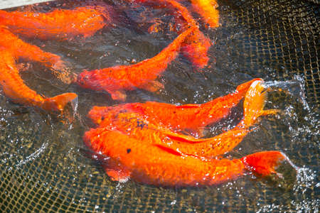 Fish red Japanese carp koi in the net on the lake Stock Photo