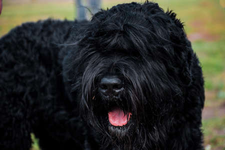 Black Terrier dog with tongue hairy black dog big