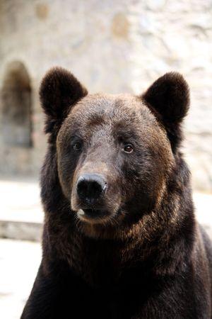 Bears portrait