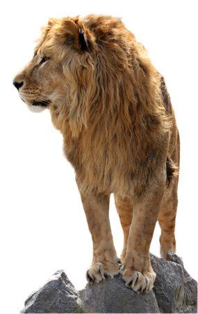 the lions: Leones en las piedras aisladas en blanco Foto de archivo