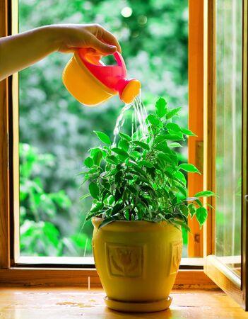 Humans hand watering flower in a flowerpot Stock Photo