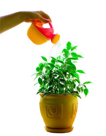Watering flower in a flowerpot isolated on the white