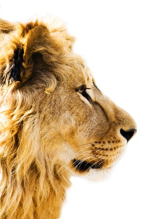 alertness: Lions portrait isolated on the white Stock Photo
