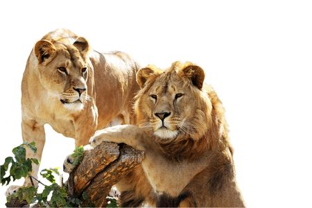 Lion family portrat isolated on the white Stock Photo