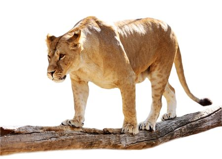 Big beautiful lioness stands on a log