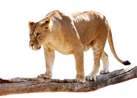 Grande bellissima leonessa sorge su un registro