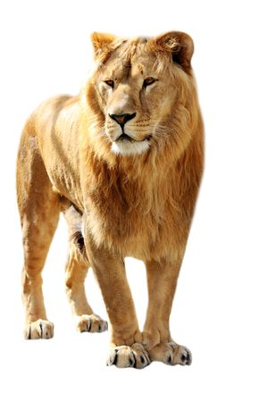 Big lion stands isolated on the white