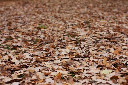 Un sacco di quercia foglie in un parco di autunno