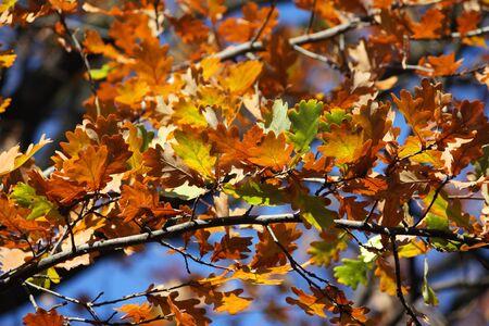 Foglie di quercia colorata su un albero