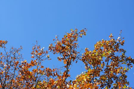Yellow leafs on an oak and clear blue sky