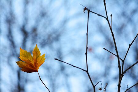Lonely maple leaf on a brench Stock Photo