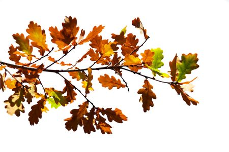 Colored leafs on tree isolated on the white Stock Photo