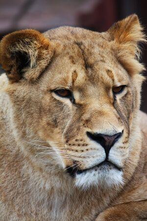 Ritratto di bella leonessa