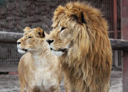 Lion family watching photo