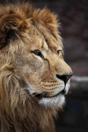 lion face: Big beautiful lion portrait