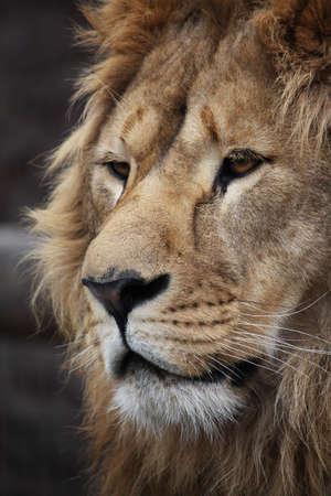 Big beautiful lion portrait