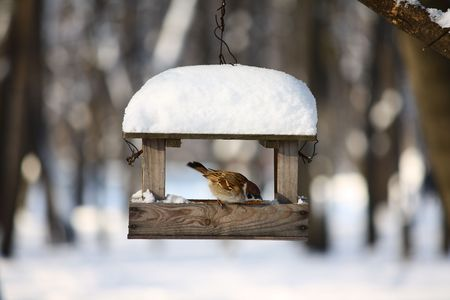 Little sparrow on a seed-can in a winter forest Stock Photo
