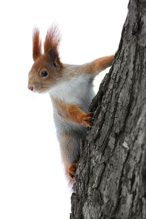 Squirrel on the tree at white background Stock Photo