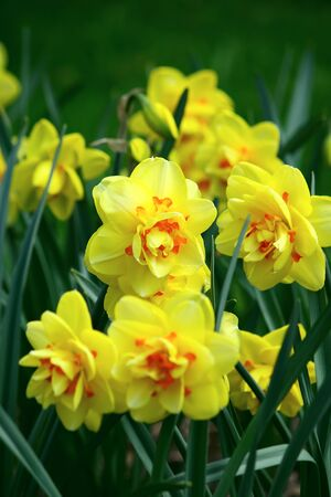 Some yellow daffodil flowers among green grass