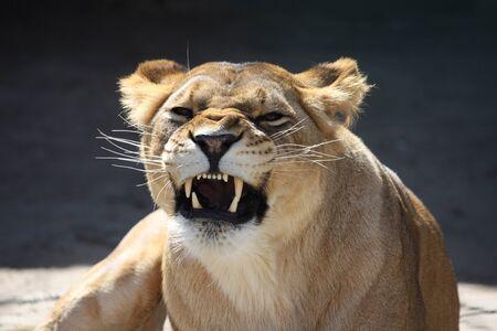 Big lioness bared teeth