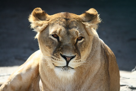 Portrait of a beautiful smiling lioness