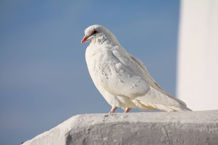 White dove sitting on the wall