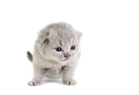 Piccolo gattino britannico isolato sul bianco