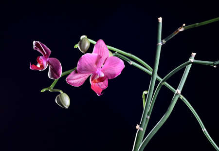 Orchid flower with bud at the branch at the dark background photo