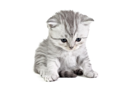 Little british kitten isolated on the white photo