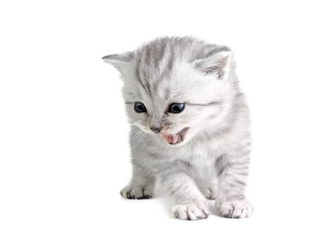 mewing: Little british kitten isolated on the white