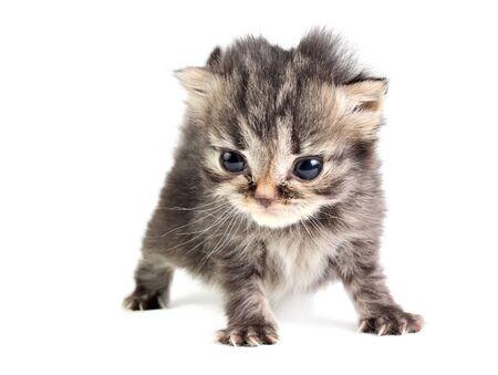 Little british kitten isolated on the white Stock Photo - 13028923