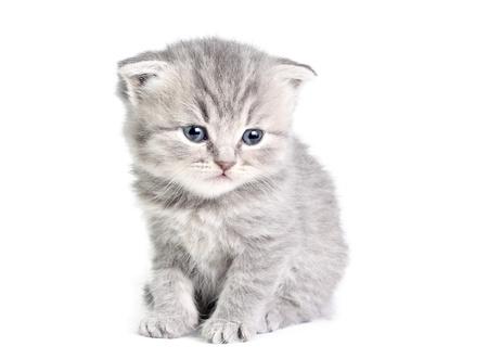 Poco gatito británico aislados en el blanco Foto de archivo