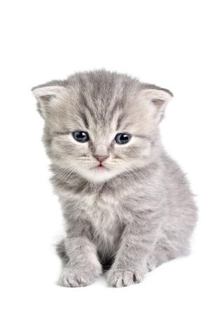 Poco britannico gattino isolato su bianco