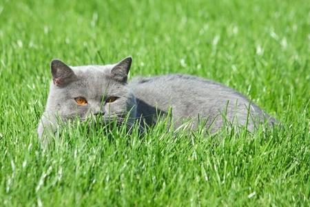 Grey Cat brittish sdraiato nell'erba verde Archivio Fotografico