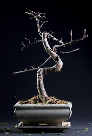 Piccolo bonsai senza foglie in fondo scuro