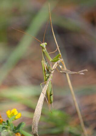 Mantis seduta sulla foglia e guardando