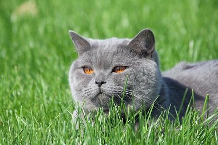 Grigio gatto britannico sdraiato sull'erba verde