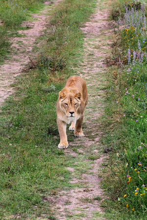 Big beautiful lioness walking on the road Stock Photo