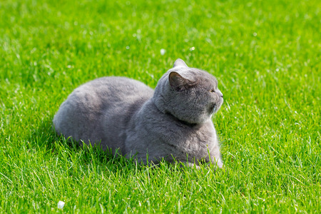Grey british cat lying in the green grass