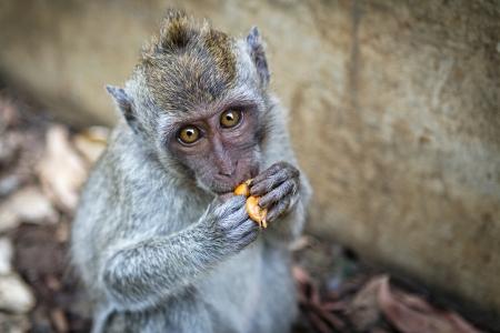 Portrait of the monkey in the temple Uluwatu photo