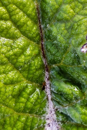 Texture of a leaf with the stem in high resolution photo