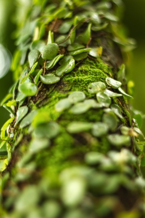 Tropical green parasite plant on a tree photo