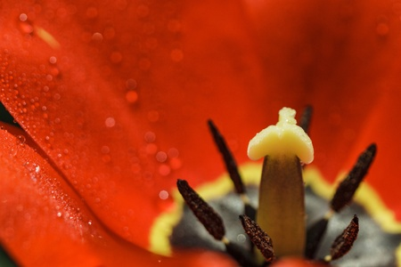 Petals of red tulip with water drops in high resolution photo