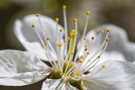 White cherry flower in spring in high definition
