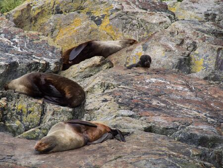 Sleeping seals with baby seal on the rock at the Milford Sound, Fiordland National Park, New Zealand South Island Banco de Imagens