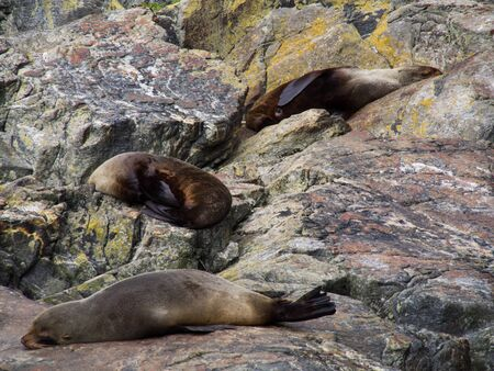 Sleeping seals on the rock at the Milford Sound, Fiordland National Park, Southland, New Zealand South Island. Banco de Imagens