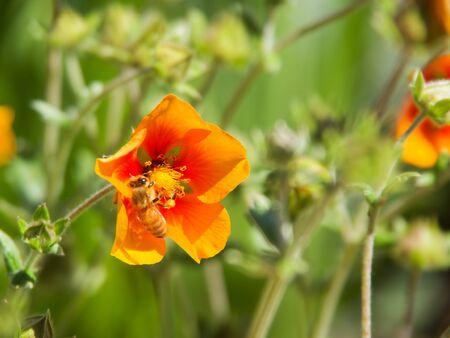 Bee on a orange flower in a beautiful garden
