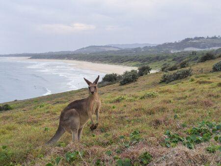 An Australian kangaroo walking on the beach at sunset 写真素材
