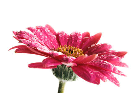 macro image of a pink flower on white background with waterdrops